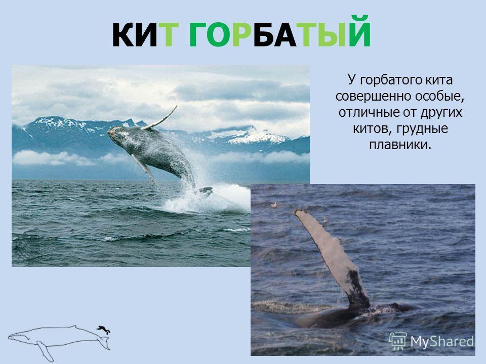 КИТ ГОРБАТЫЙ У горбатого кита совершенно особые, отличные от других китов, грудные плавники.