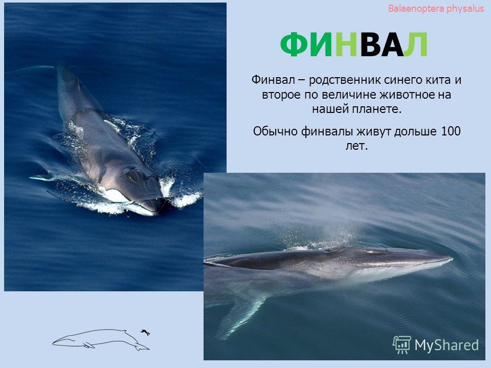 Balaenoptera physalus ФИНВАЛ Финвал – родственник синего кита и второе по величине животное на нашей планете. Обычно финвалы живут дольше 100 лет.