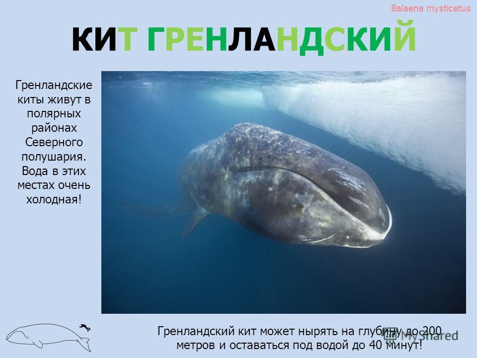 КИТ ГРЕНЛАНДСКИЙ Balaena mysticetus Гренландские киты живут в полярных районах Северного полушария. Вода в этих местах очень холодная! Гренландский кит может нырять на глубину до 200 метров и оставаться под водой до 40 минут!