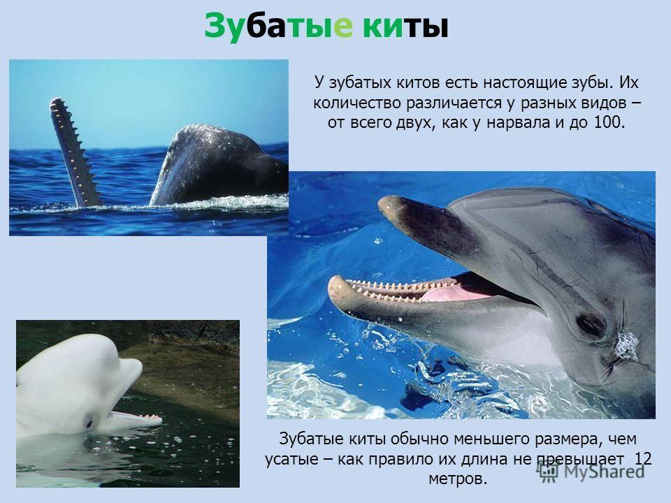 У зубатых китов есть настоящие зубы. Их количество различается у разных видав – от всего двух, как у нарвала и до 100. Зубатые киты обычно меньшего размера, чем усатые – как правило их длина не превышает 12 метров. Зубатые киты