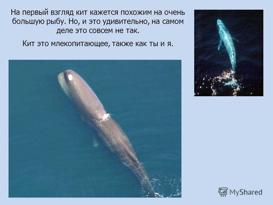 На первый взгляд кит кажется похожим на очень большую рыбу. Но, и это удивительно, на самом деле это совсем не так. Кит это млекопитающее, также как ты и я.