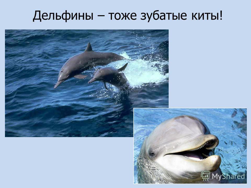 Дельфины – тоже зубатые киты!