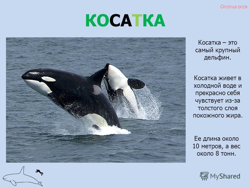 КОСАТКА Косатка живет в холодной воде и прекрасно себя чувствует из-за толстого слоя подкожного жира. Ее длина около 10 метров, а вес около 8 тонн. Косатка – это самый крупный дельфин. Orcinus orca