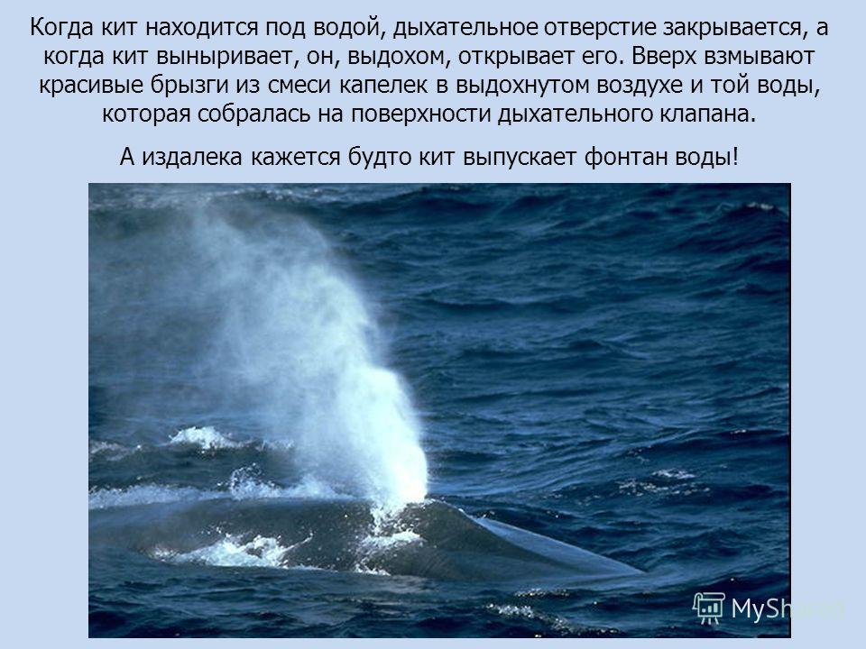 Когда кит находится под водой, дыхательное отверстие закрывается, а когда кит выныривает, он, выдохом, открывает его. Вверх взмывают красивые брызги из смеси капелек в выдохнутом воздухе и той воды, которая собралась на поверхности дыхательного клапа