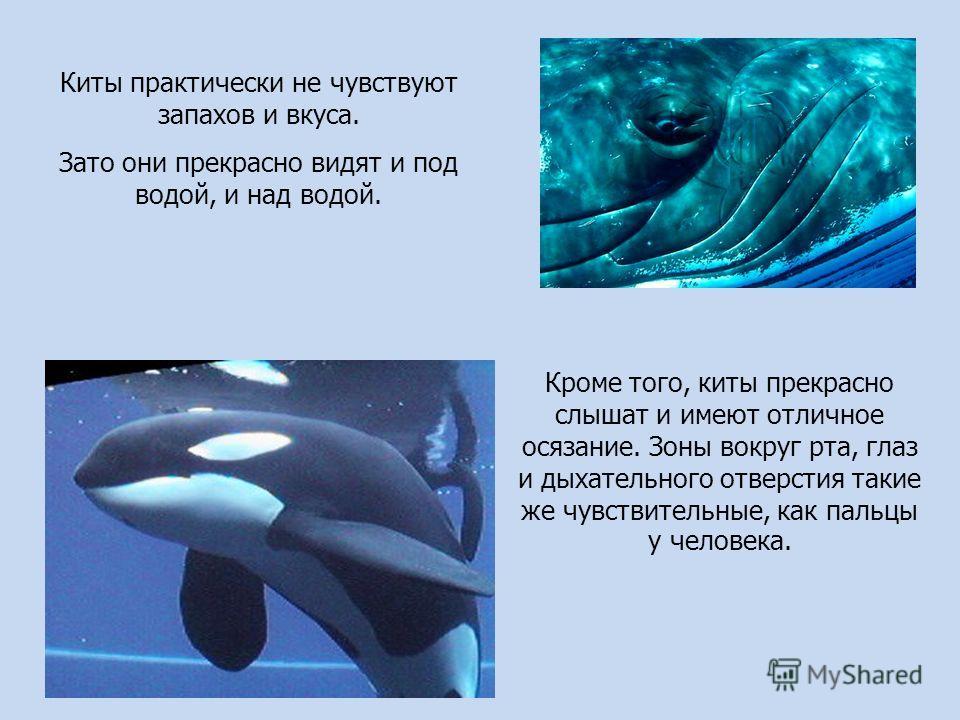 Киты практически не чувствуют запахов и вкуса. Зато они прекрасно видят и под водой, и над водой. Кроме того, киты прекрасно слышат и имеют отличное осязание. Зоны вокруг рта, глаз и дыхательного отверстия такие же чувствительные, как пальцы у челове