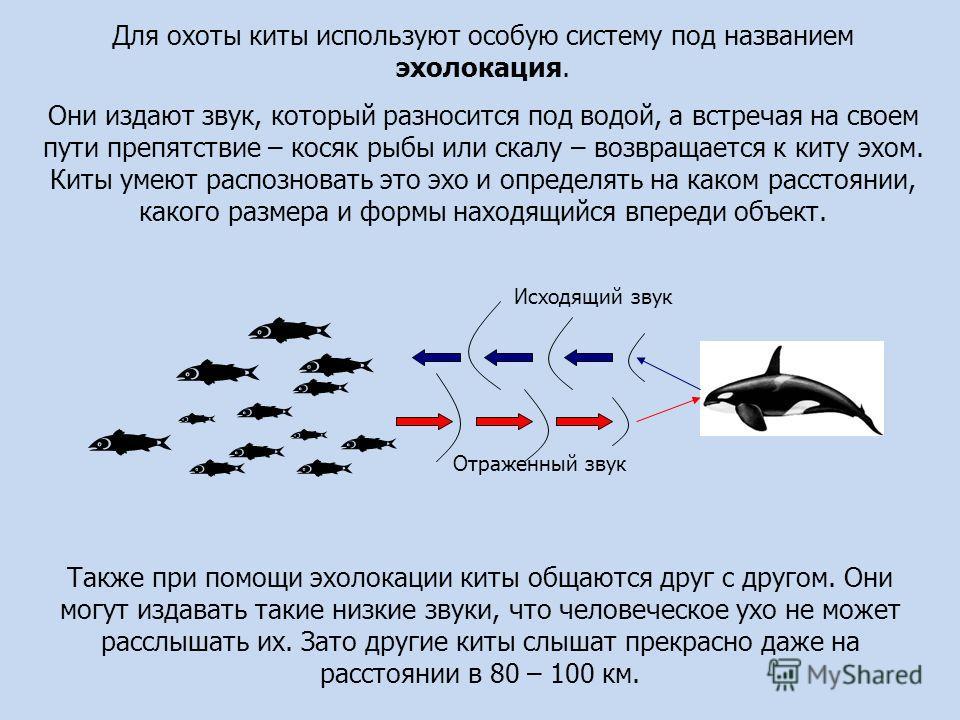 Для охоты киты используют особую систему под названием эхолокация. Они издают звук, который разносится под водой, а встречая на своем пути препятствие – косяк рыбы или скалу – возвращается к киту эхом. Киты умеют распознавать это эхо и определять на