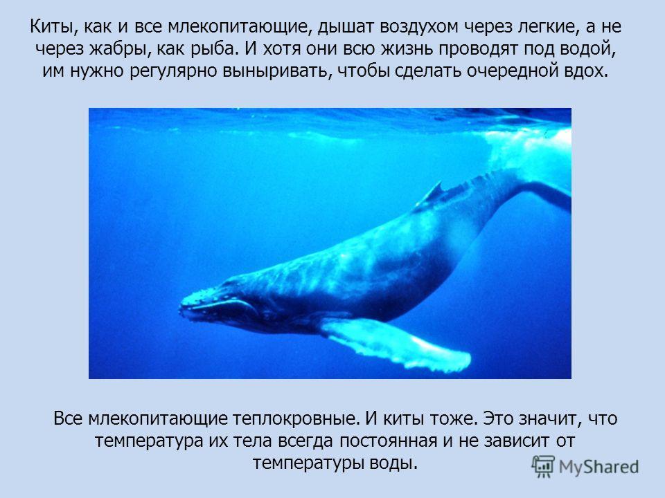 Все млекопитающие теплокровные. И киты тоже. Это значит, что температура их тела всегда постоянная и не зависит от температуры воды. Киты, как и все млекопитающие, дышат воздухом через легкие, а не через жабры, как рыба. И хотя они всю жизнь проводят