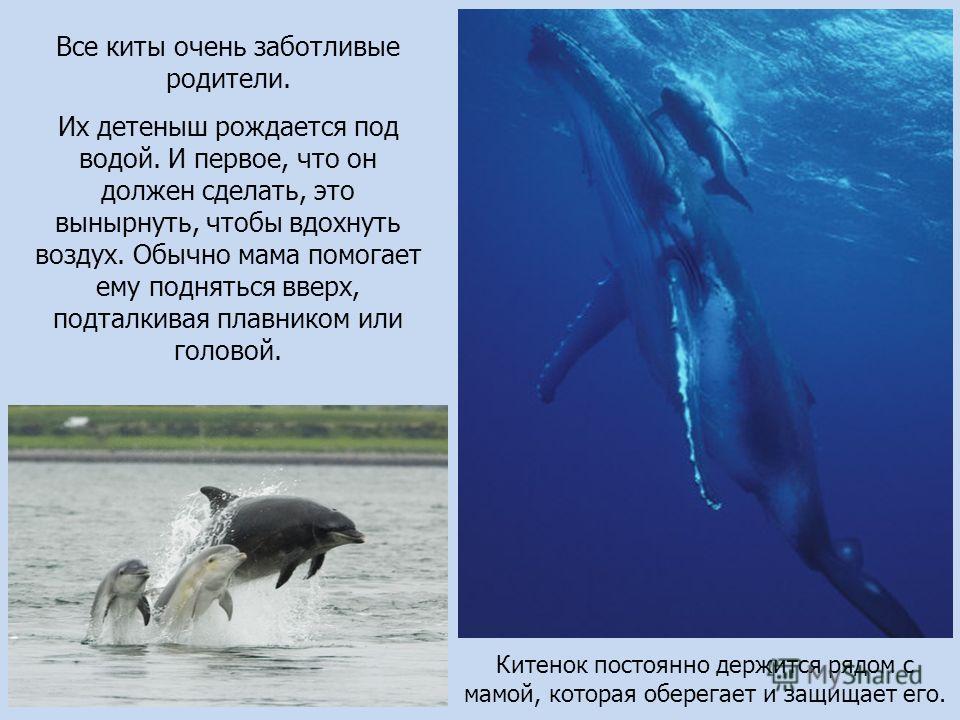Все киты очень заботливые родители. Их детеныш рождается под водой. И первое, что он должен сделать, это вынырнуть, чтобы вдохнуть воздух. Обычно мама помогает ему подняться вверх, подталкивая плавником или головой. Китенок постоянно держится рядом с