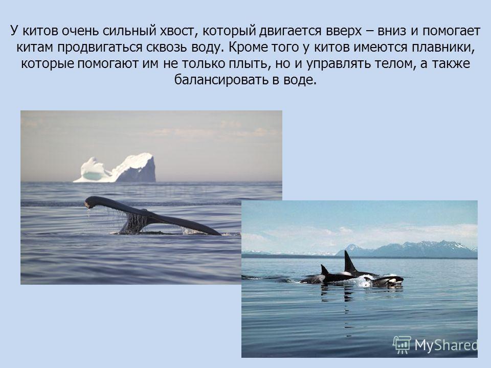 У китов очень сильный хвост, который двигается вверх – вниз и помогает китам продвигаться сквозь воду. Кроме того у китов имеются плавники, которые помогают им не только плыть, но и управлять телом, а также балансировать в воде.