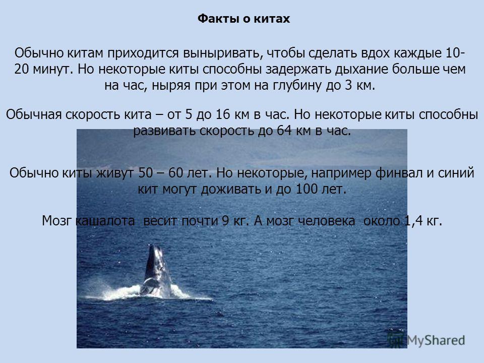 Факты о китах Обычно китам приходится выныривать, чтобы сделать вдох каждые 10- 20 минут. Но некоторые киты способны задержать дыхание больше чем на час, ныряя при этом на глубину до 3 км. Обычная скорость кита – от 5 до 16 км в час. Но некоторые кит
