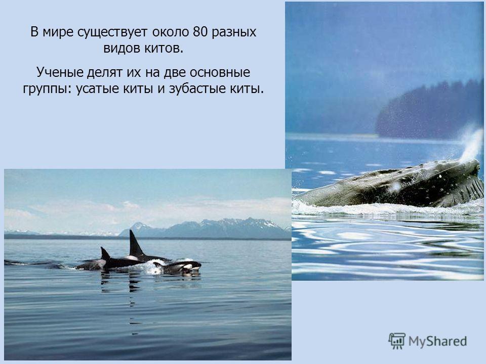 В мире существует около 80 разных видав китов. Ученые делят их на две основные группы: усатые киты и зубастые киты.