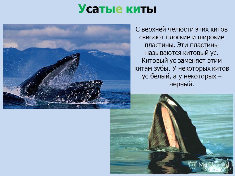 С верхней челюсти этих китов свисают плоские и широкие пластины. Эти пластины называются китовый ус. Китовый ус заменяет этим китам зубы. У некоторых китов ус белый, а у некоторых – черный. Усатые киты
