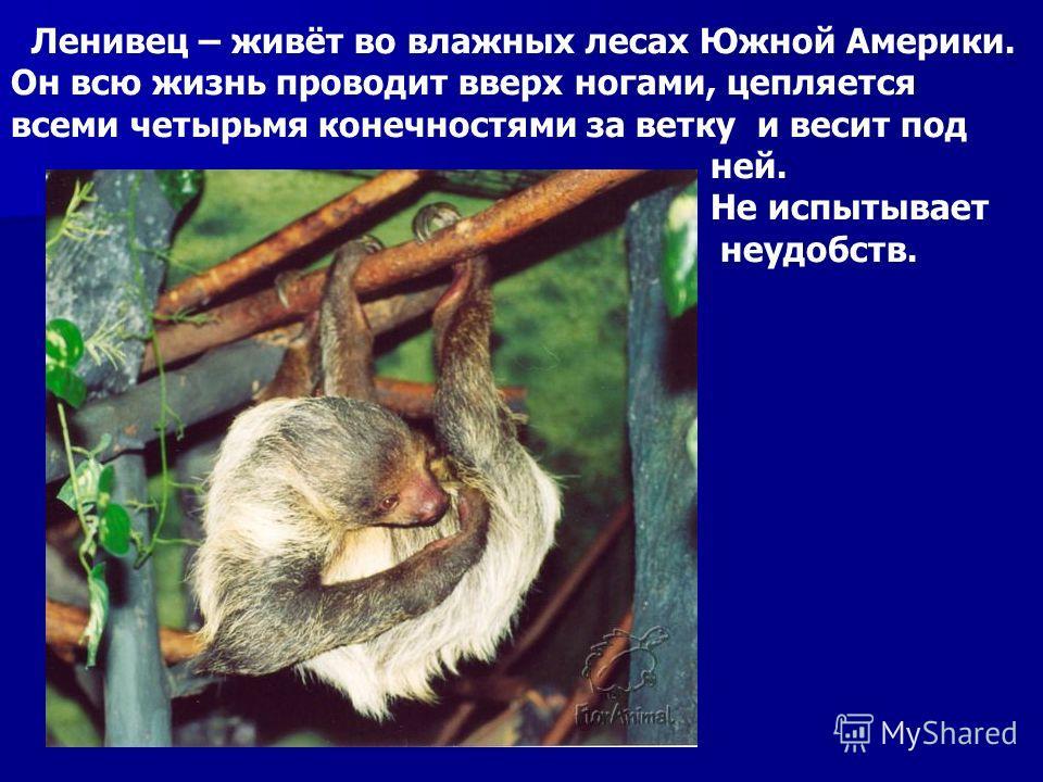 Ленивец – живёт во влажных лесах Южной Америки. Он всю жизнь проводит вверх ногами, цепляется всеми четырьмя конечностями за ветку и весит под ней. Не испытывает неудобств.