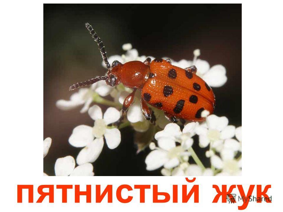красный жук