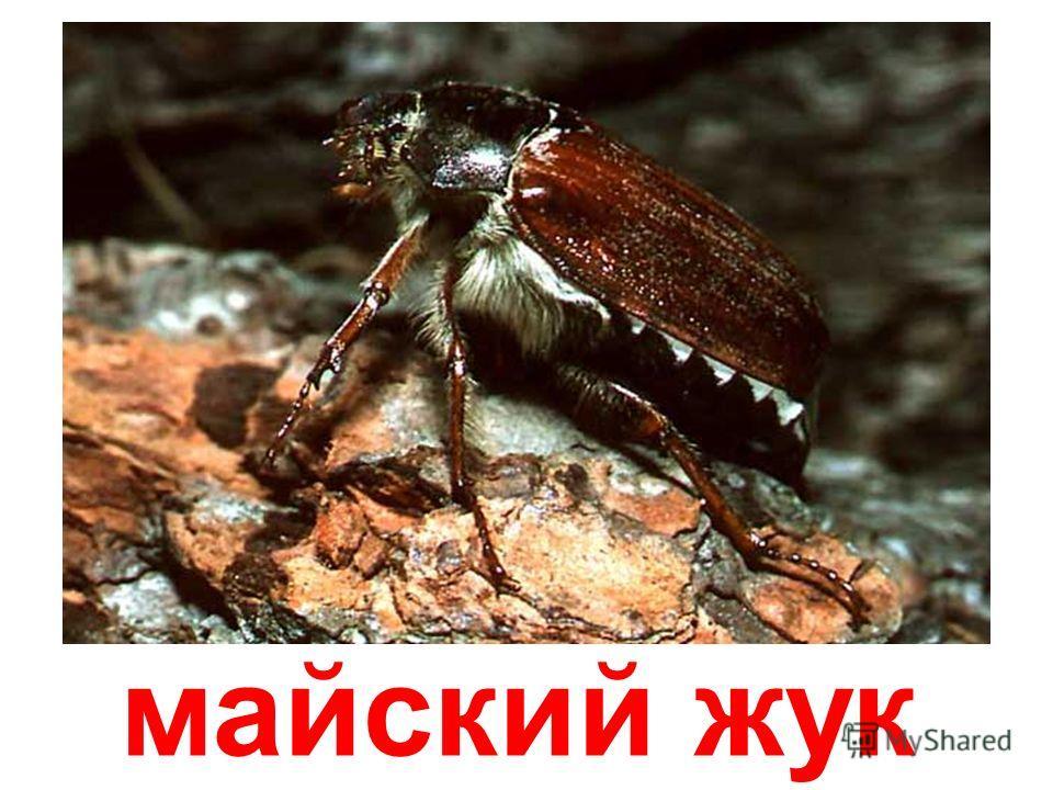 жук-усач