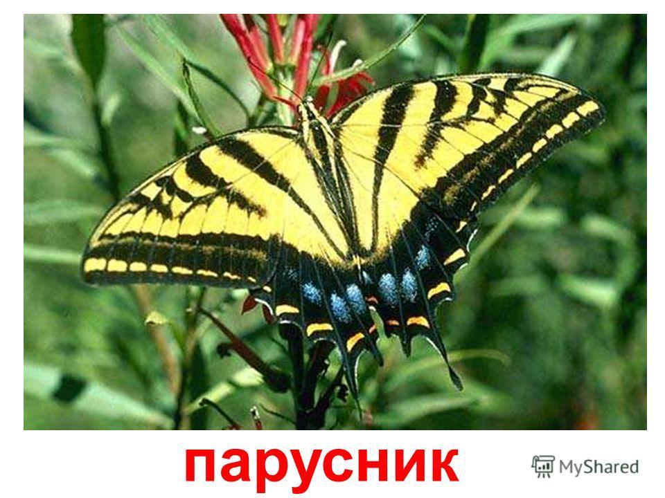 бабочка-зебра Бабочка-зебра