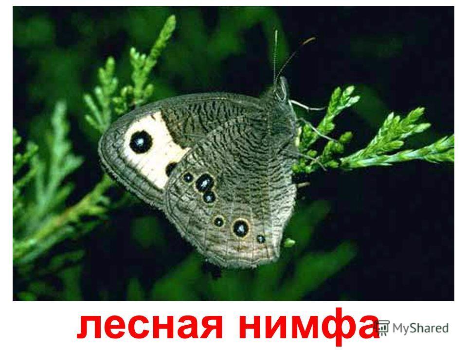 шахматная бабочка Шахматная бабочка