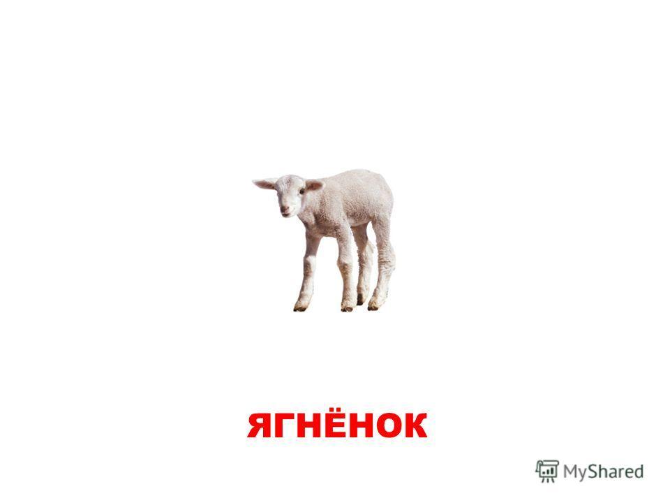 ЯГНЕНОК