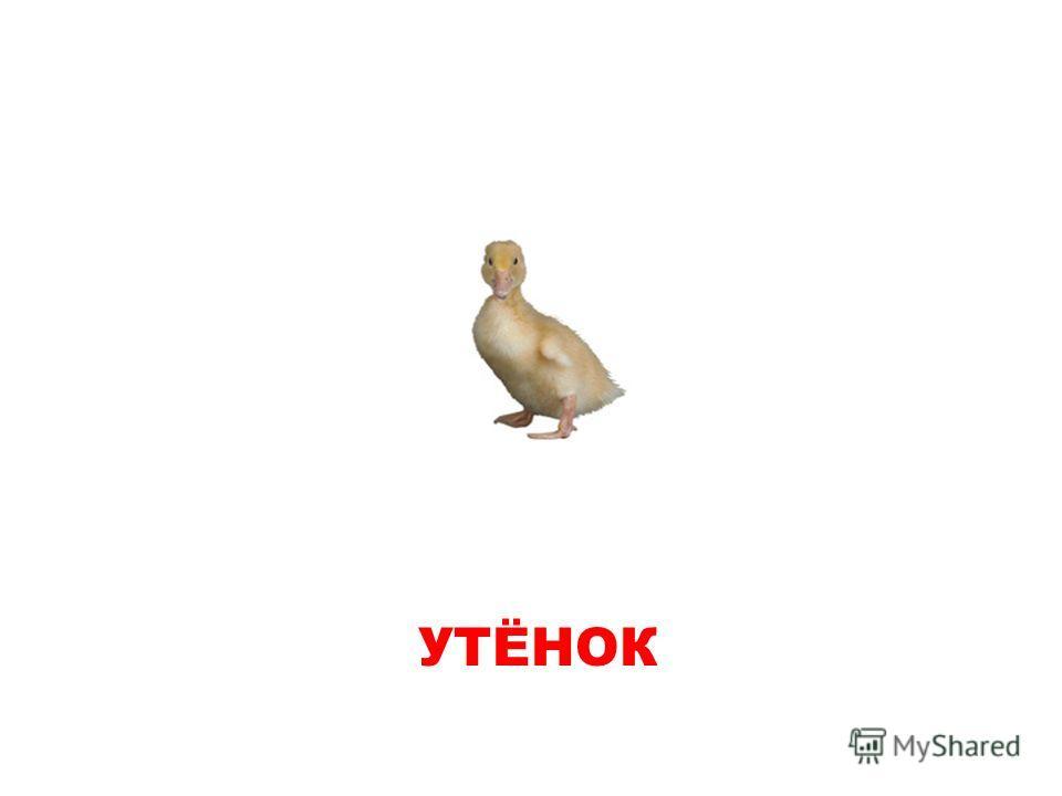 УТЕНОК