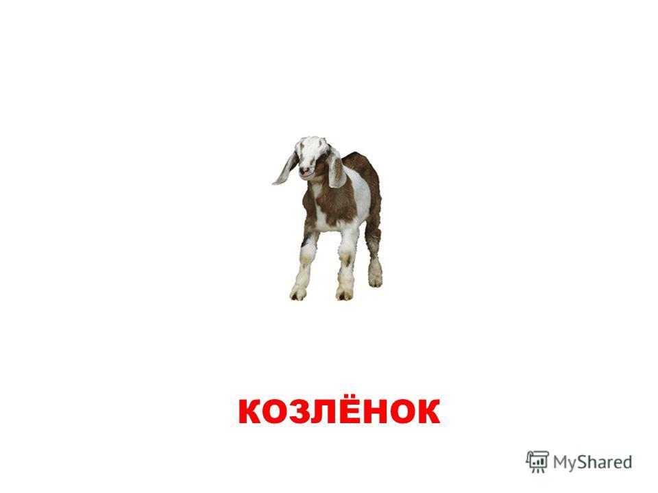 КОЗЛЕНОК