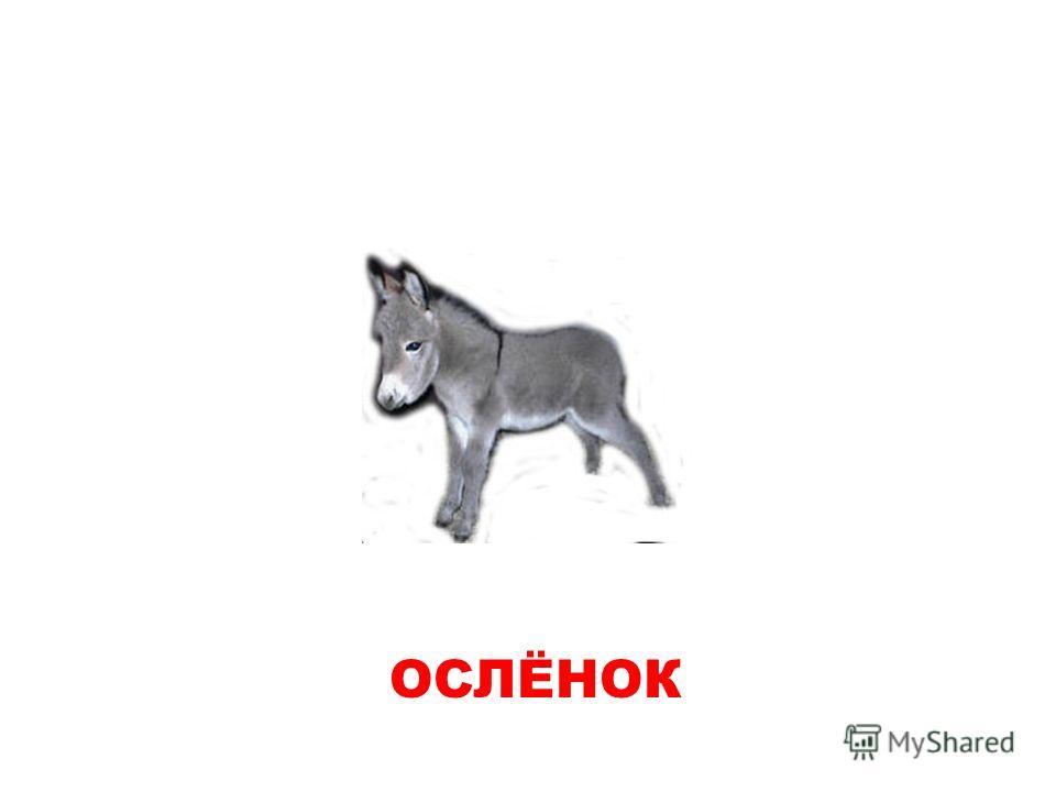 ОСЛЕНОК