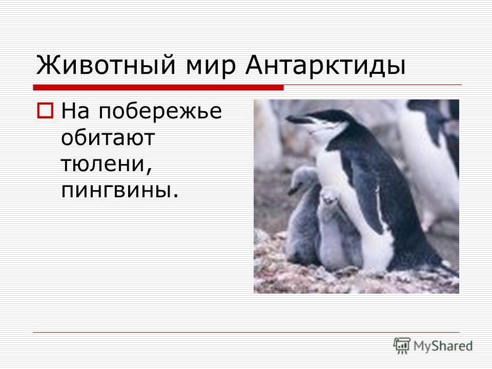 Животный мир Антарктиды На побережье обитают тюлени, пингвины.
