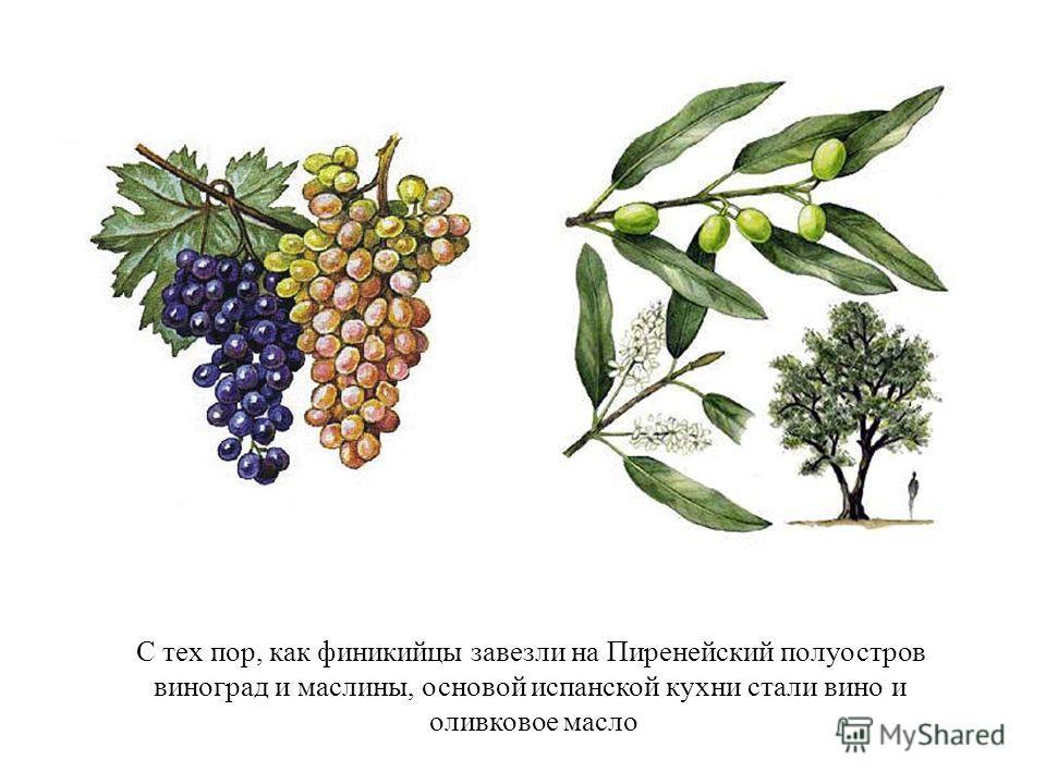 С тех пор, как финикийцы завезли на Пиренейский полуостров виноград и маслины, основой испанской кухни стали вино и оливковое масло