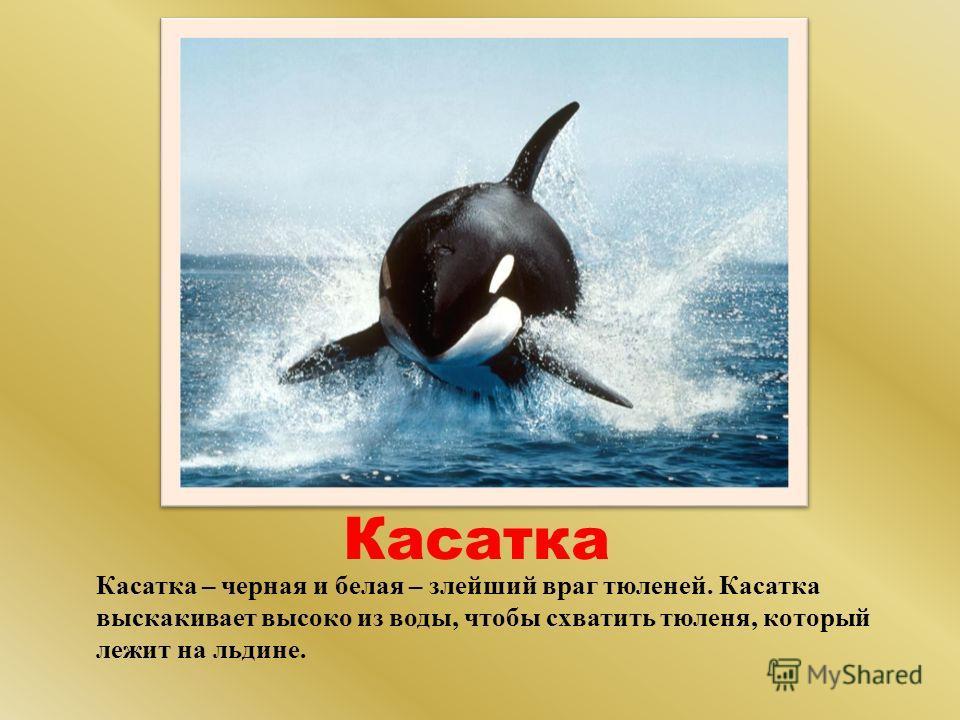 Касатка Касатка – черная и белая – злейший враг тюленей. Касатка выскакивает высоко из воды, чтобы схватить тюленя, который лежит на льдине.