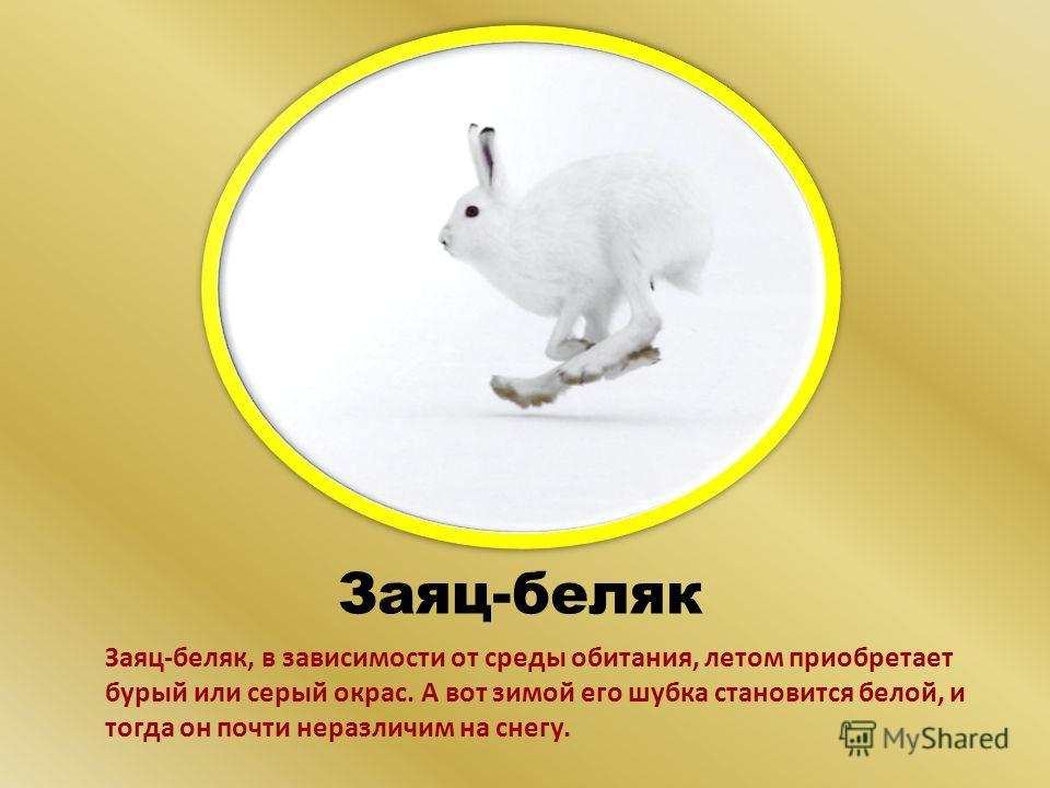 Заяц-беляк Заяц-беляк, в зависимости от среды обитания, летом приобретает бурый или серый окрас. А вот зимой его шубка становится белой, и тогда он почти неразличим на снегу.