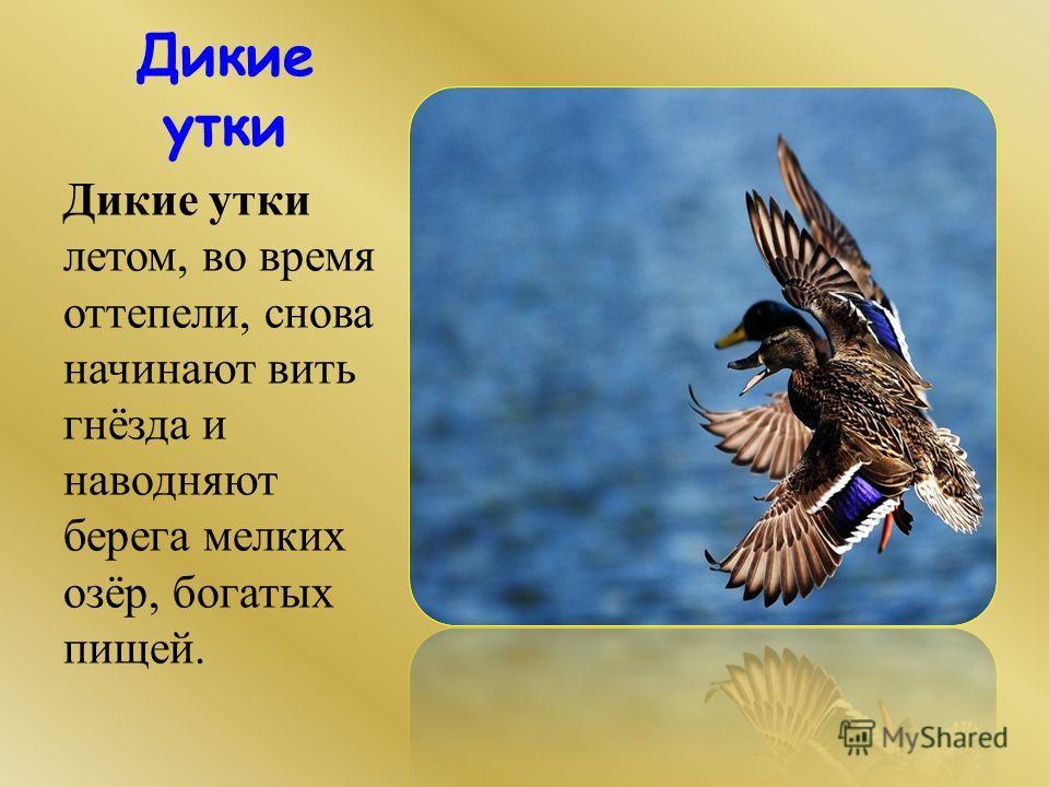 Дикие утки Дикие утки летом, во время оттепели, снова начинают вить гнёзда и наводняют берега мелких озёр, богатых пищей.