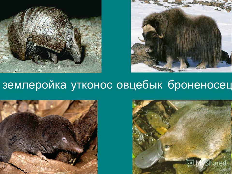 овцебыкземлеройкаброненосецутконос