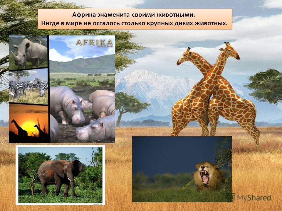 Африка знаменита своими животными. Нигде в мире не осталось столько крупных диких животных. Африка знаменита своими животными. Нигде в мире не осталось столько крупных диких животных.