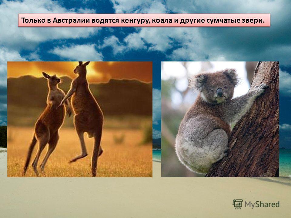Только в Австралии водятся кенгуру, коала и другие сумчатые звери.