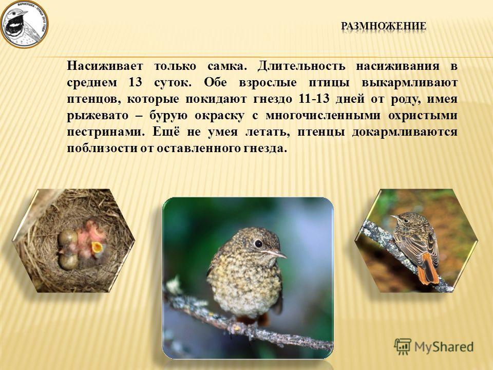 Насиживает только самка. Длительность насиживания в среднем 13 суток. Обе взрослые птицы выкармливают птенцов, которые покидают гнездо 11-13 дней от роду, имея рыжевато – бурую окраску с многочисленными охристыми пестринами. Ещё не умея летать, птенц