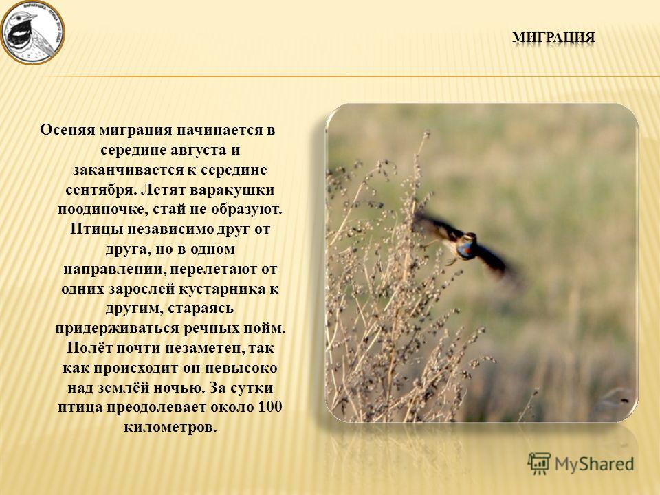 Осеняя миграция начинается в середине августа и заканчивается к середине сентября. Летят варакушки поодиночке, стай не образуют. Птицы независимо друг от друга, но в одном направлении, перелетают от одних зарослей кустарника к другим, стараясь придер