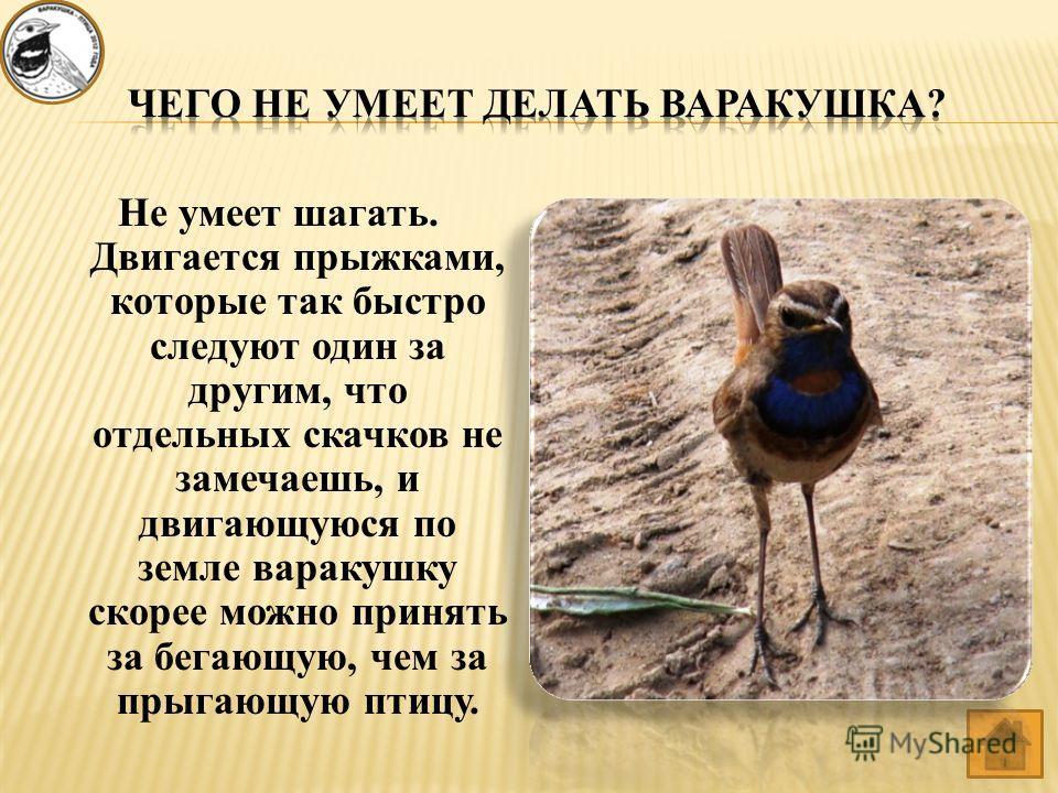 Не умеет шагать. Двигается прыжками, которые так быстро следуют один за другим, что отдельных скачков не замечаешь, и двигающуюся по земле варакушку скорее можно принять за бегающую, чем за прыгающую птицу.