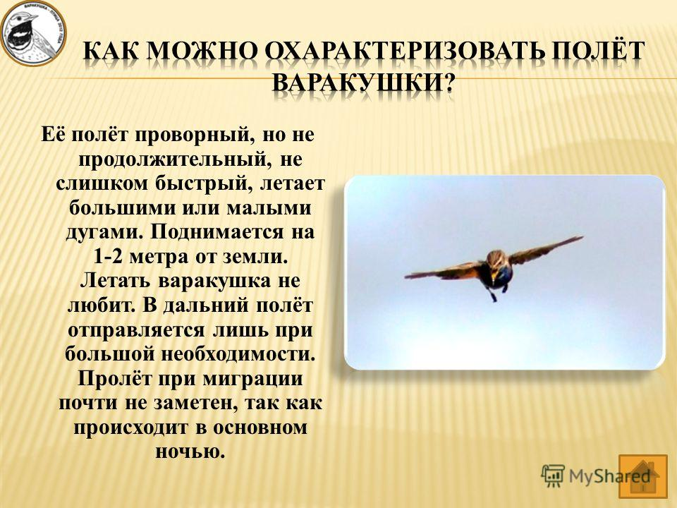 Её полёт проворный, но не продолжительный, не слишком быстрый, летает большими или малыми дугами. Поднимается на 1-2 метра от земли. Летать варакушка не любит. В дальний полёт отправляется лишь при большой необходимости. Пролёт при миграции почти не