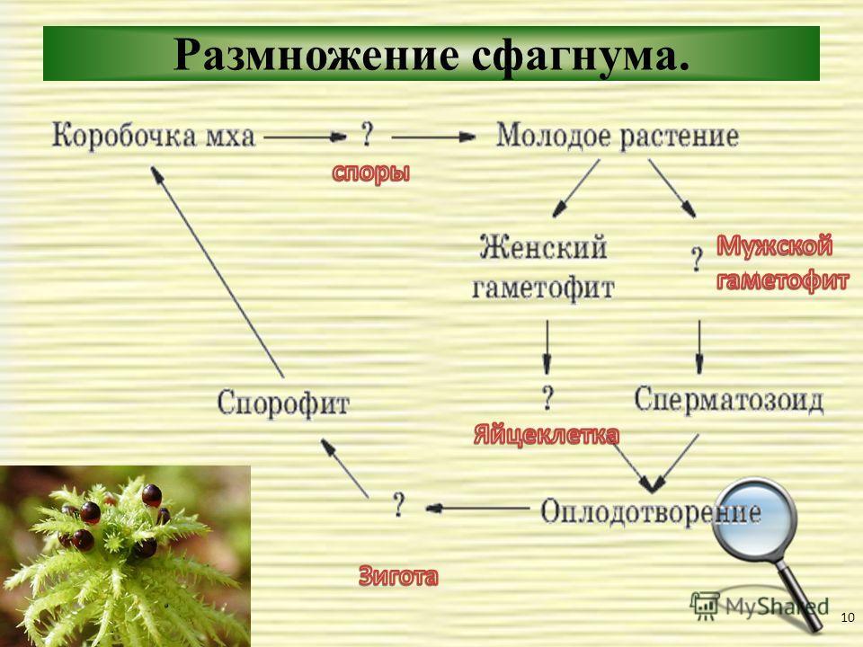 Размножение сфагнума. 10