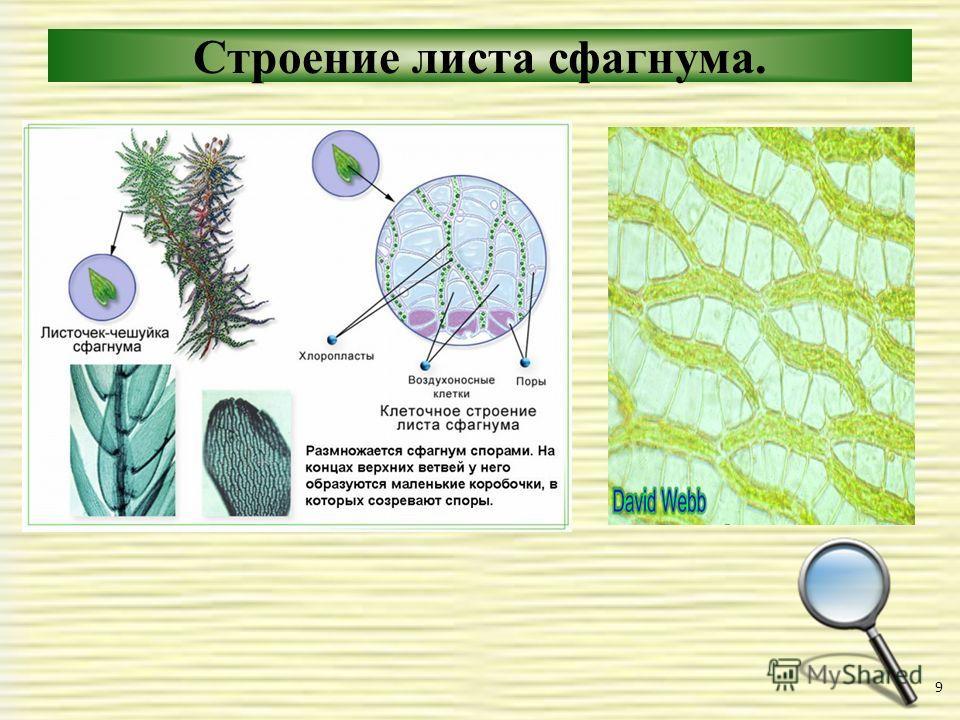 Строение листа сфагнума. 9
