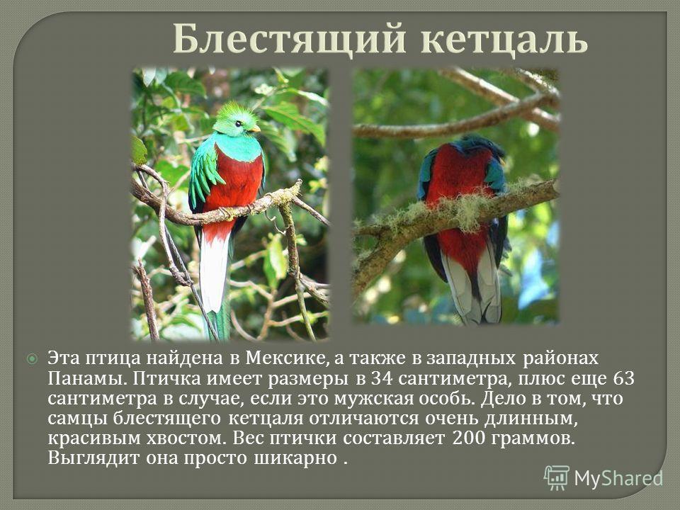 Блестящий кетсаль Эта птица найдена в Мексике, а также в западных районах Панамы. Птичка имеет размеры в 34 сантиметра, плюс еще 63 сантиметра в случае, если это мужская особь. Дело в том, что самцы блестящего кетсаля отличаются очень длинным, красив