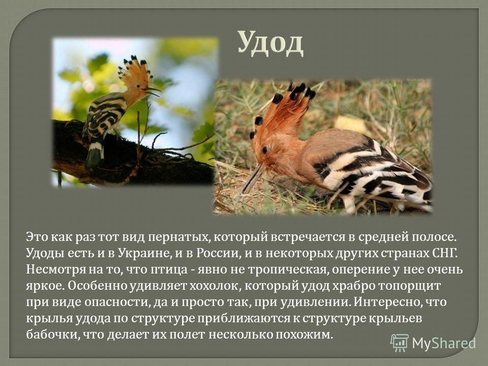 Удод Это как раз тот вид пернатых, который встречается в средней полосе. Удоды есть и в Украине, и в России, и в некоторых других странах СНГ. Несмотря на то, что птица - явно не тропическая, оперение у нее очень яркое. Особенно удивляет хохолок, кот