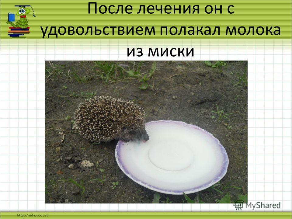 После лечения он с удовольствием полакал молока из миски