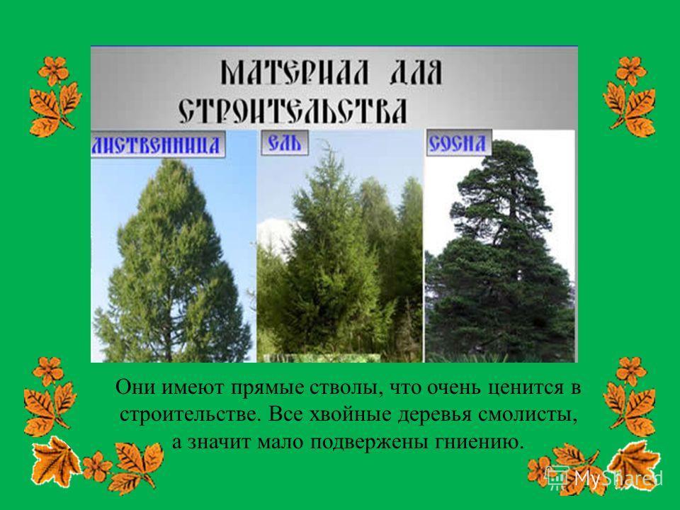 Они имеют прямые стволы, что очень ценится в строительстве. Все хвойные деревья смолисты, а значит мало подвержены гниению.