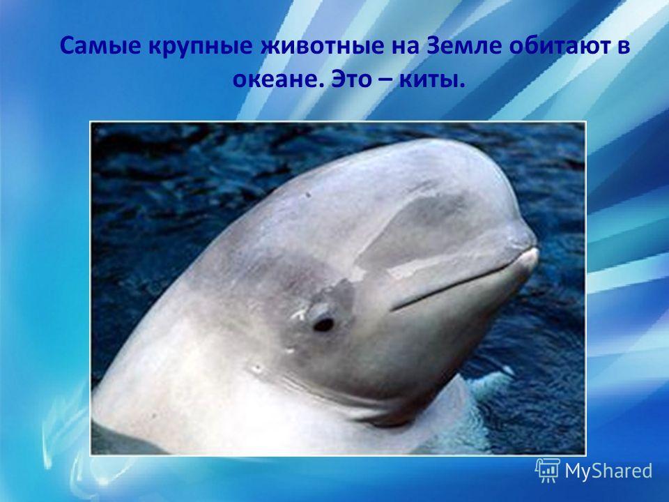 Самые крупные животные на Земле обитают в океане. Это – киты.