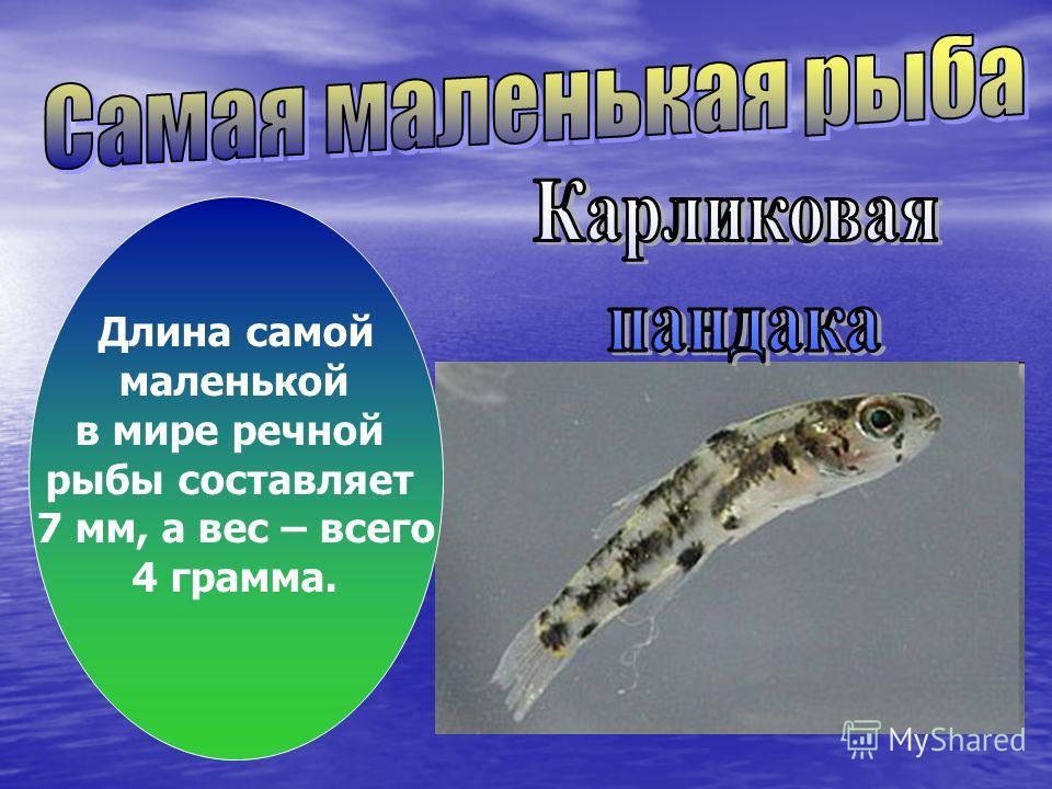 Длина самой маленькой в мире речной рыбы составляет 7 мм, а вес – всего 4 грамма.