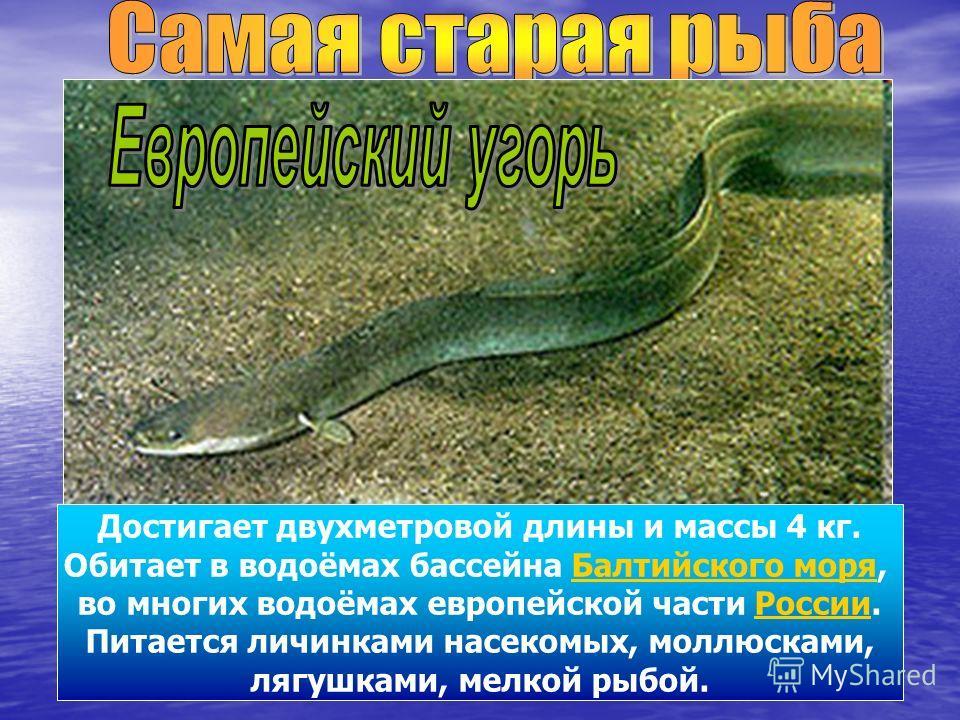 Достигает двухметровой длины и массы 4 кг. Обитает в водоёмах бассейна Балтийского моря, во многих водоёмах европейской части России. Питается личинками насекомых, моллюсками, лягушками, мелкой рыбой.