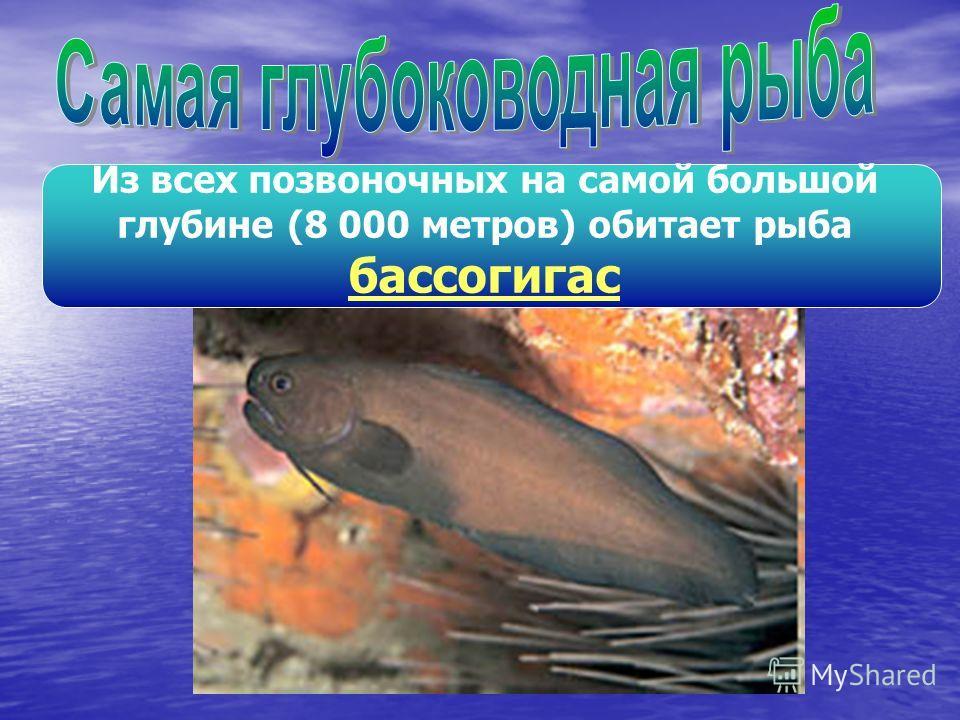 Из всех позвоночных на самой большой глубине (8 000 метров) обитает рыба бассогигас
