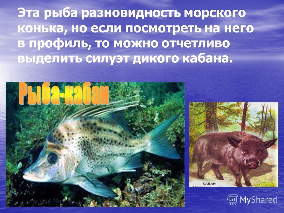 Эта рыба разновидность морского конька, но если посмотреть на него в профиль, то можно отчетливо выделить силуэт дикого кабана.