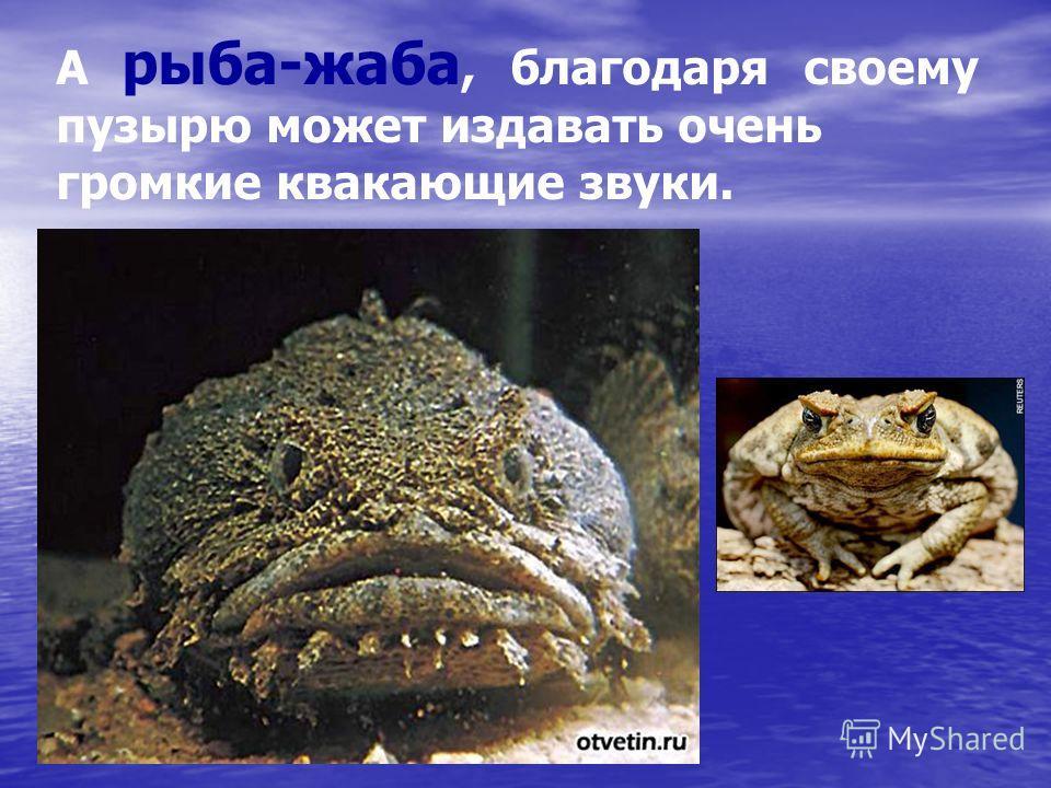 А рыба-жаба, благодаря своему пузырю может издавать очень громкие квакающие звуки.