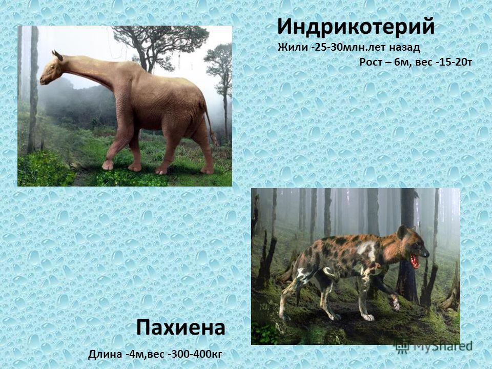 Индрикотерий Жили -25-30 млн.лет назад Рост – 6 м, вес -15-20 т Длина -4 м,вес -300-400 кг Пахиена